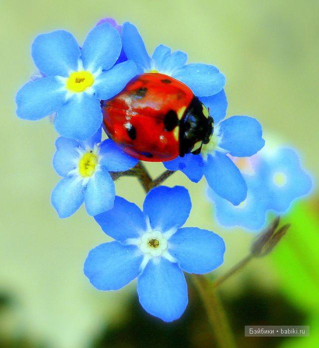 Незабудка. цветок