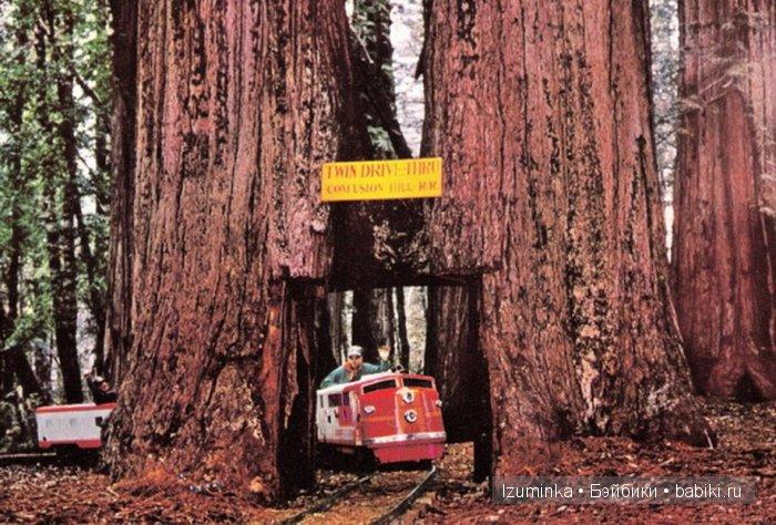 Самые гигантские деревья в мире.