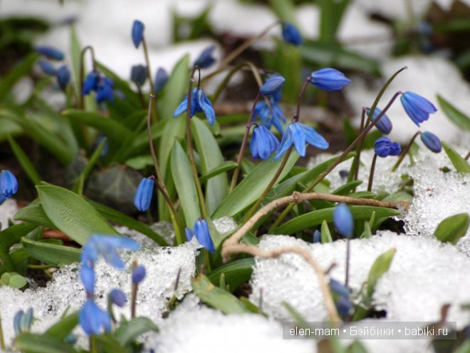 голубые первоцветы в снегу