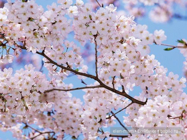 цветущая ветвь