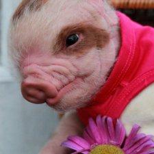 Еще одна свинка реборн Пигги