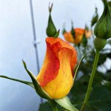 Лето, сад, цветы