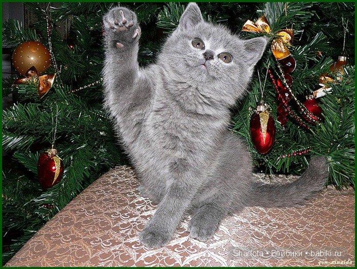 свое британские кошки и елки фото можете деактивировать