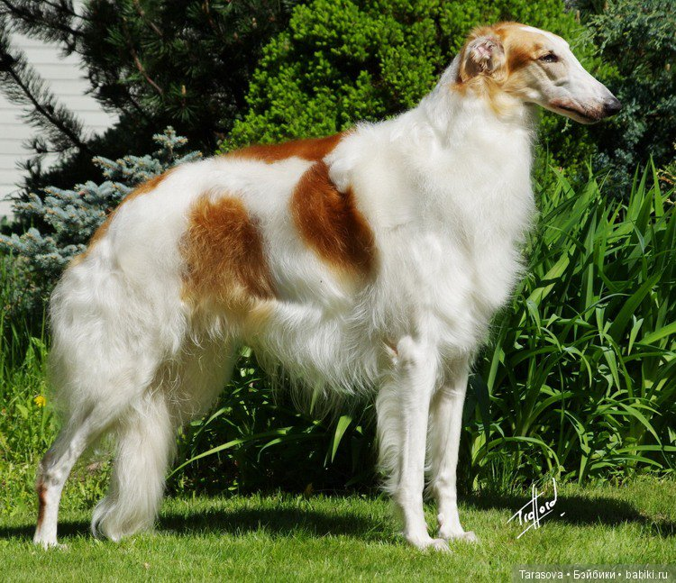 печать борзая собака фото русская полосатая начала поездки