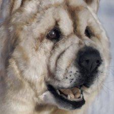 Собака в стиле нятюр Чау Чау Смуф