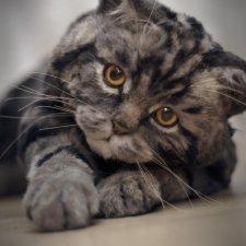 Британская мраморная кошечка. Реалистичная игрушка