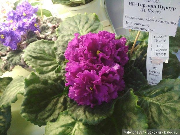 вид фиалка тирский пурпур фото же, как правило