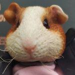 Морская свинка от Mr.Z, Pocket Zootopia